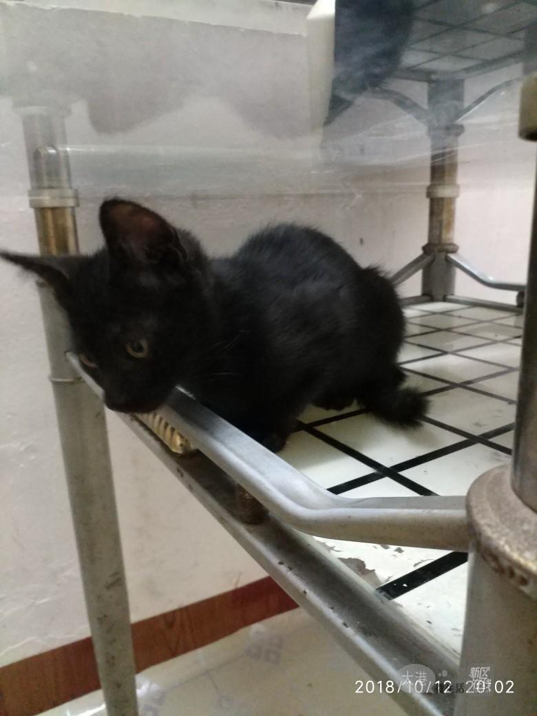 家有小黑猫免费送